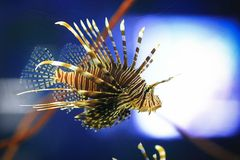 Pterois miles Stock Images