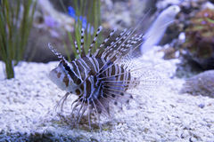 Pterois miles or Lionfish Stock Image