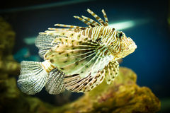 Pterois radiata Royalty Free Stock Photography