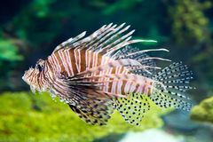 Pterois or Lionfish on display. royalty free stock photography