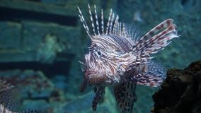 Pterois volitans蓑鱼,有毒珊瑚礁鱼 库存照片