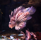 Pterois Volitans Stock Photography