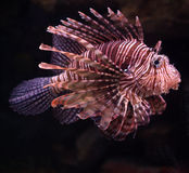 Pterois Volitans Stock Photo