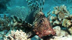 Pterois volitans comune del lionfish del pesce tossico a strisce sul fondo del Mar Rosso video d archivio