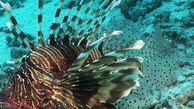 Pterois volitans comune del lionfish del pesce tossico a strisce sul fondo del Mar Rosso archivi video
