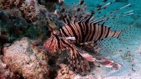 Pterois volitans comune del lionfish del pesce tossico a strisce sul fondo del Mar Rosso stock footage
