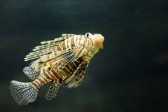 Pterois volitans del Lionfish - pesce esotico tropicale Immagine Stock Libera da Diritti