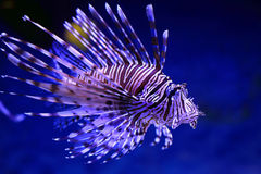 Pterois volitans. Fish close up Royalty Free Stock Image
