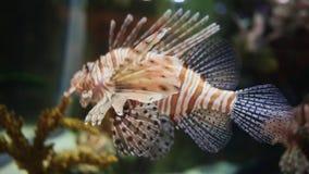 Pterois Volitans Fish. Underwater Aquarium Dubai Mall. Pterois Volitans Fish. Slow motion. Underwater Aquarium Dubai Mall stock footage
