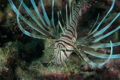 Pterois volitans in Gorontalo, Indonesien-Unterwasserfoto Stockbild
