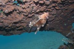 Pterois volitans, of lionfish Stock Afbeeldingen
