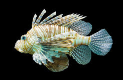 Pterois volitans, Lionfish - Isolated on black Stock Photo