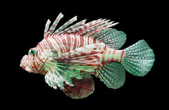 Pterois volitans, Lionfish - Isolated on black Stock Photos