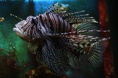Pterois volitans, Lionfish, Pilsen-Dierentuin royalty-vrije stock afbeeldingen