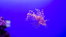 Pterois volitans, Lionfish with space for your text.  royalty free stock photography