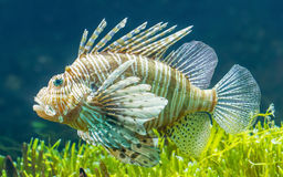 Pterois volitans, Lionfish Royalty Free Stock Photography