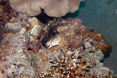 Pterois volitans, or lionfish  is underwater Royalty Free Stock Images