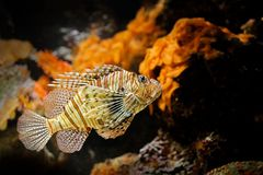 Pterois volitans, Red Lionfish, danger poison fish in the sea water. Lion fish in the nature ocean habitat. Marine life. stock photos