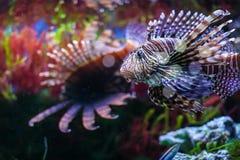 Pterois volitans. Red lionfish Pterois volitans aquarium fish. Beautiful and dangerous Lionfish stock photo