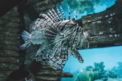 Pterois volitans. Red lionfish, Pterois volitans, aquarium fish. Beautiful and dangerous Royalty Free Stock Photos