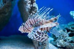 Pterois volitans - red lionfish Stock Photos