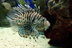 Pterois volitans Royalty Free Stock Photos