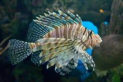 Pteroisvissen lionfish Stock Foto's
