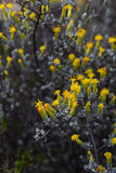 Pteronia-incana fynbos Stockfotos