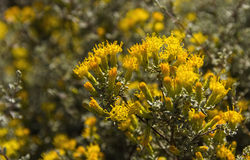 Pteronia incana fynbos karoo Royalty Free Stock Images