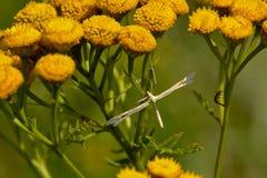 Pterophoridae -艾菊vulgare家庭的白色羽毛飞蛾在一朵黄色艾菊花的 免版税图库摄影