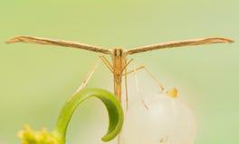 Pterophoridae Fotografia Stock Libera da Diritti
