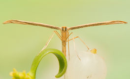 Pterophoridae Royalty Free Stock Photography