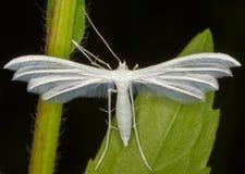 Pterophorus pentadactyla / white plume moth Stock Images