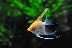 Pterophyllum Stock Photos