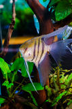 Pterophyllum altum- Angelfish Stock Photos
