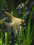 Pterophyllum de los pescados del acuario Imágenes de archivo libres de regalías