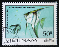 Pterophyllum eimekei - tropical angelfish, circa 1980 Royalty Free Stock Photos