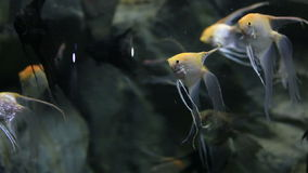 Pterophyllum from the family Cichlidae stock video