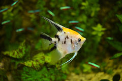 The Pterophyllum fish Stock Image