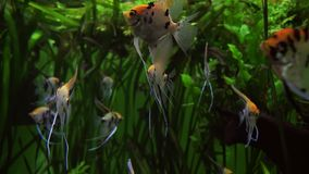 Pterophyllum in marine aquarium stock footage video. Pterophyllum in a marine aquarium stock footage video stock video footage