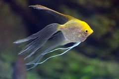 Pterophyllum. Rriver fish Pterophyllum (hybrid form Gold and Veil), underwater photography Stock Photos