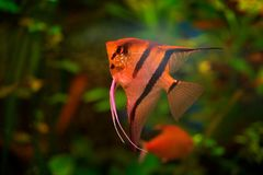 Pterophyllum scalare神仙鱼,自然绿色栖所 在河水的橙色和桃红色鱼 与神仙鱼的水植被 绿色 库存照片