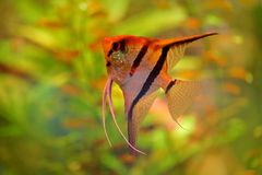 Pterophyllum scalare神仙鱼,自然绿色栖所 在河水的橙色和桃红色鱼 与神仙鱼的水植被 库存图片