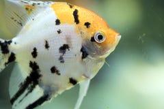 Pterophyllum scalare, αναφερόμενος επίσης ως angelfish ή του γλυκού νερού angelfish Στοκ Εικόνες