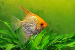 Pterophyllum scalare. Close up of a pterophyllum scalare in a tank Royalty Free Stock Images