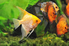 Pterophyllum scalare. In a tank with symphysodon discus Stock Photography