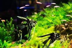 鱼pterophyllum scalare 图库摄影