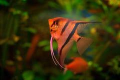 Pterophyllum scalare Angelfish, πράσινος βιότοπος φύσης Πορτοκαλιά και ρόδινα ψάρια στο νερό ποταμού Βλάστηση νερού με Angelfish  Στοκ Φωτογραφίες