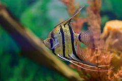 Pterophyllum scalare. Angelfish. One grey striped angelfish swims in a transparent aquarium on a green background stock photography