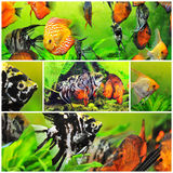 Pterophyllum scalare and discus Royalty Free Stock Photos